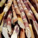 canne à sucre en paquet agriculture