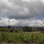 champ de cannes à sucre coupées agriculture sucre